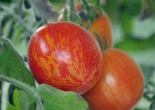 http://tomatprat.blogspot.no/2015/07/fuzzy-wuzzy-en-ekstraordinr-tomat.html