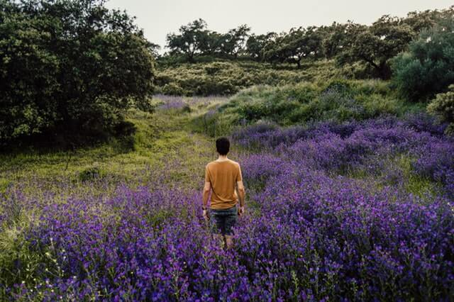 Person Standing on Bed of Lavender Flowers HD Copyright Free Image