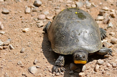 Blanding's Turtle crossing township road