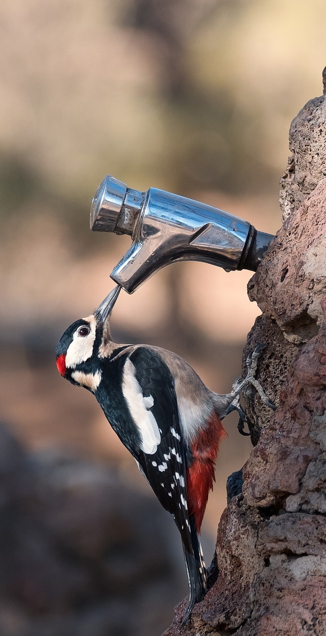 Great-spotted-woodpecker drinking from a tap.