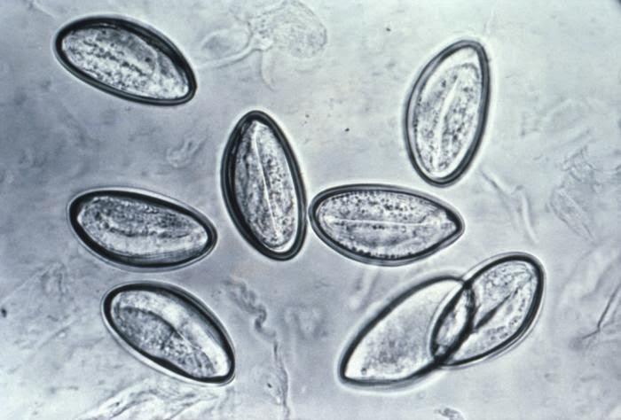 enterobius vermicularis és egy protozoon egyadagos parazita kezelés
