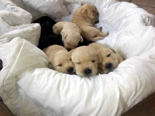 Labrador Retriever 2017: 3 tygodnie