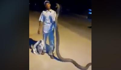 Merinding, Pria Ini Bercanda dengan King Kobra Besar dan Panjang
