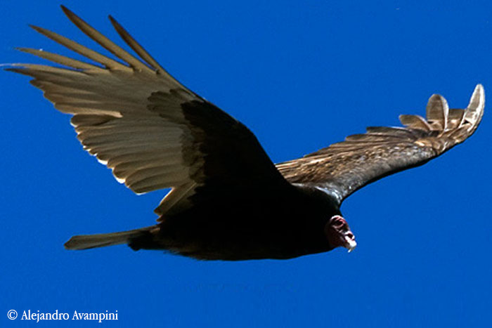 Turkey Vulture in the skies of Peninsula Valdes