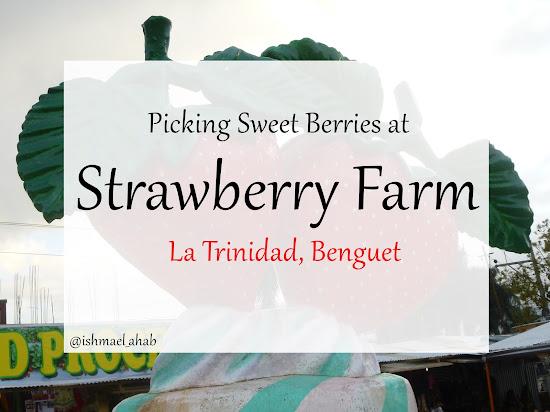 Picking Sweet Strawberries at Strawberry Farm in La Trinidad, Benguet