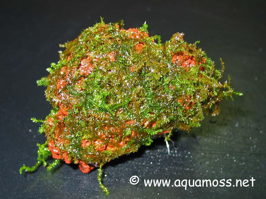 Rêu thủy sinh được buộc vào giá thể - buộc vào đá