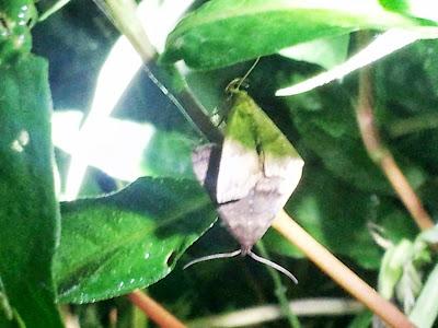 フキノメイガの成虫 交尾