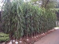pohonglodogantiang