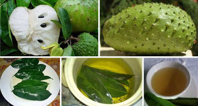 The Leaves of Soursop Are 1,000 Times Stronger At Killing Cancer Cells Than Chemotherapy!
