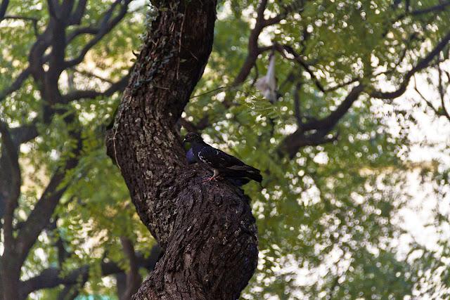 Paloma en rama gruesa