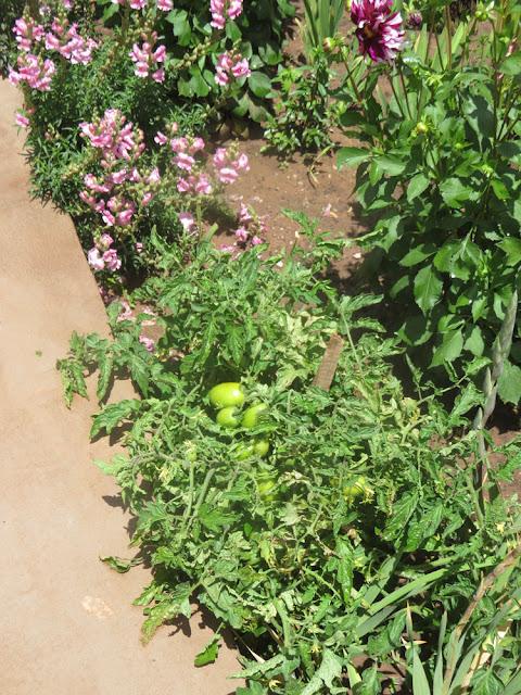 Eine Tomatenstaute die wohl über den Kot von Vögeln im Rosengarten landete und bald reife Tomaten hat.