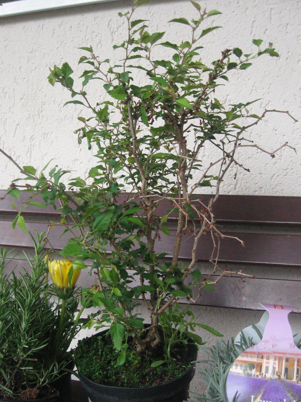 bonsais im garten prunus vorher nachher. Black Bedroom Furniture Sets. Home Design Ideas