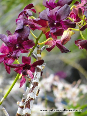 orchid garden at Kiahuna Plantation in Poipu, Kauai, Hawaii