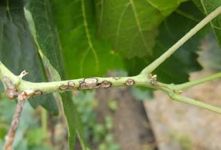 Заболевание Бриллиантовой малины антракноз