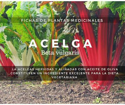 Acelga Planta procede de la Acelga Marina o Acelga Bravía