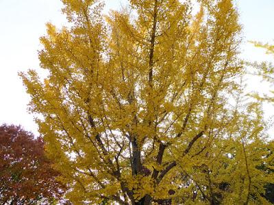 寝屋川公園 銀杏(イチョウ)の黄葉