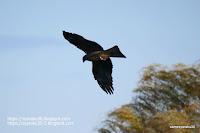 飛行するトビの写真