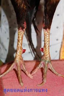 Sisik Kaki Ayam Pembunuh Asli