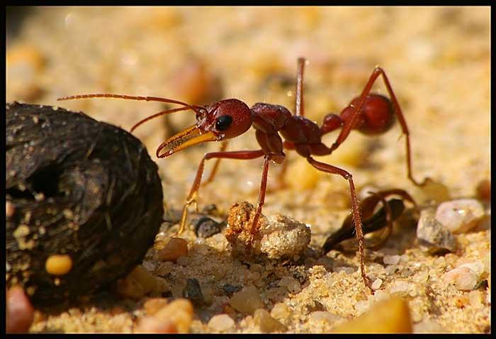 Bull ants