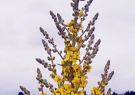 Gordolobo (Verbascum pulverulentum) flor amarilla