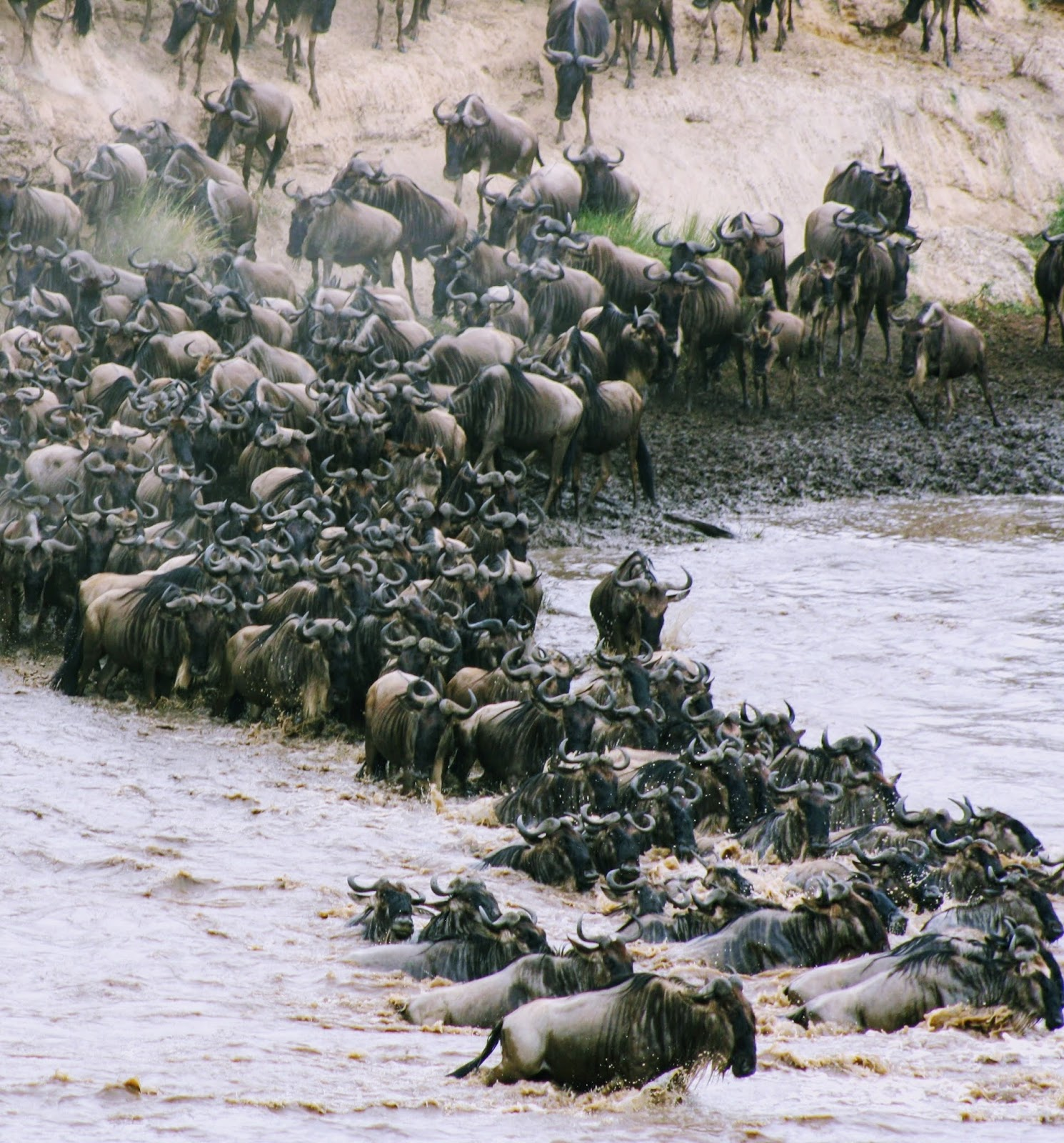 Picture of wildebeest migration.