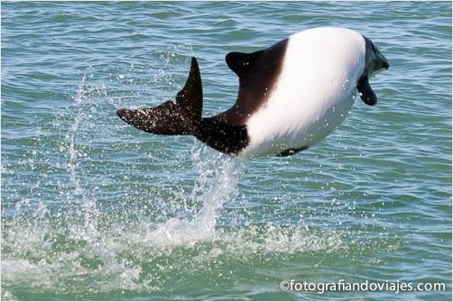 tonina, un tipo de delfín, en Puerto Deseado