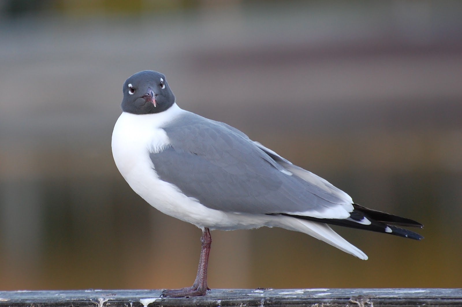 Laughing Gull Season is Almost Over