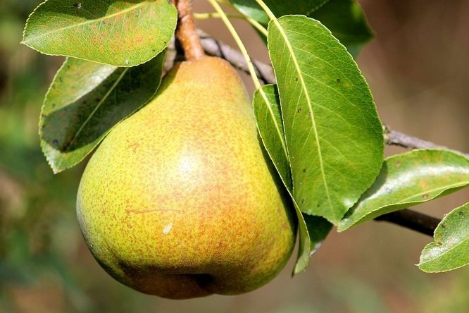 Image result for Buah Pear site:blogspot.com