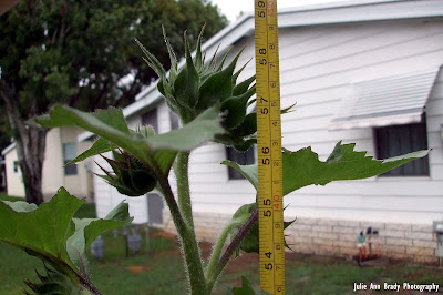 Chianti Hybrid Sunflower 59 inches tall at 63 days on May 20, 2018