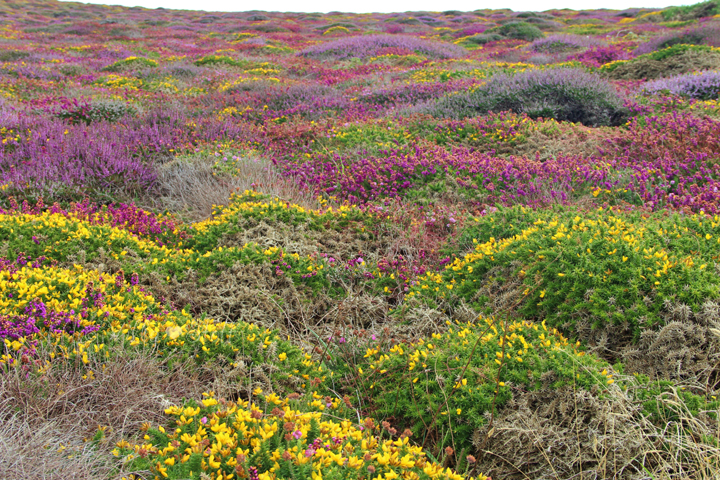 Flowers of Cornwall | Land's End Wanderweg