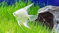 Jenis Ikan Hias Air Tawar Yang Mudah Dipelihara Manfish