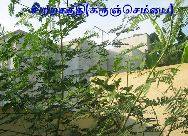 சிற்றகத்தி. (கருஞ்செம்பை - மஞ்சள்செம்பை.) Cirrakatti.