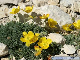Pavot des Alpes - Pavot du Groenland - Papaver aurantiacum - Papaver alpinum