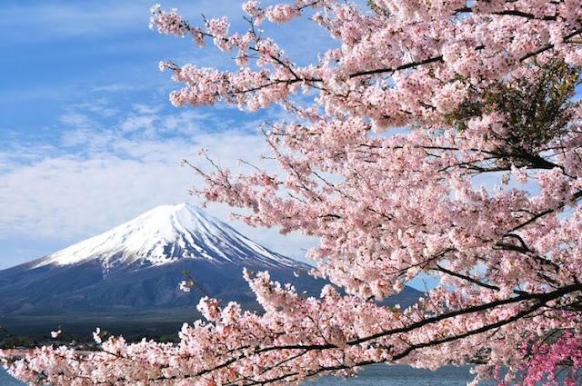 Nhật Bản luôn xem những cánh hoa đào nở vào dịp cuối Đông – đầu Xuân (khoảng tháng 4) chính là biểu tượng cho sắc đẹp, sự mong manh và trong trắng của đất nước mình. Mỗi mùa hoa về khắp các thị trấn như được ướp trong hương thơm nồng nàn của những mùa hoa tháng hai. Loại hoa thoắt nở thoắt tàn này được các Samurai yêu thích vì nó tượng trưng cho khí tiết và cách sống của họ.