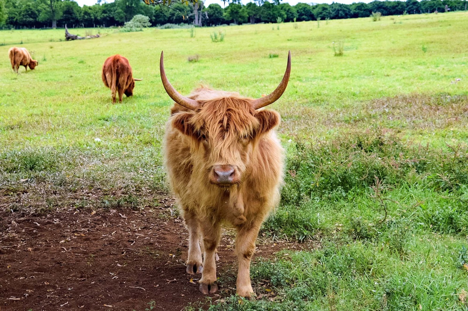 highland cattle at the farm