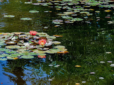 Suiren (water lily) flowers: Ofuna botanical garden (Kamakura)