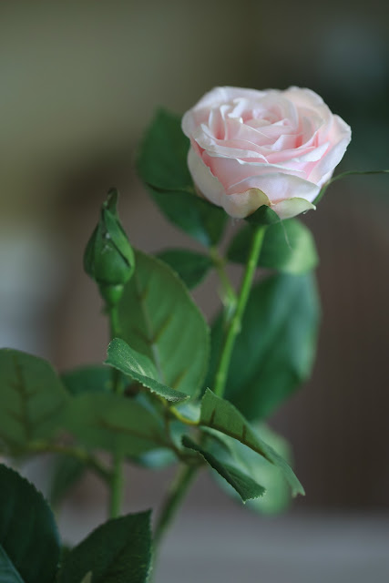 rose bud and blooms