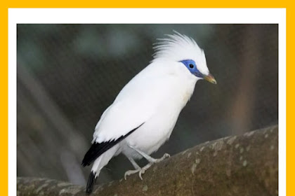 Looking at the Business Prospects of Bali Starling Breeding
