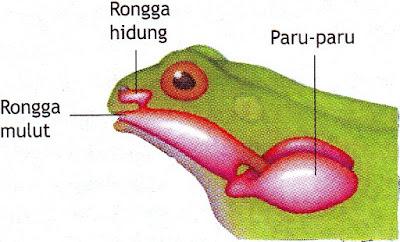 Sistem pernapasan amfibi