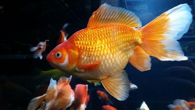 Budidaya Ikan Mas Koki - Pemijahkan