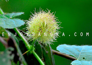 buah hutan khas bangka