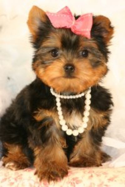 Cats and Dogs Blog: Adorable Yorkie Puppy