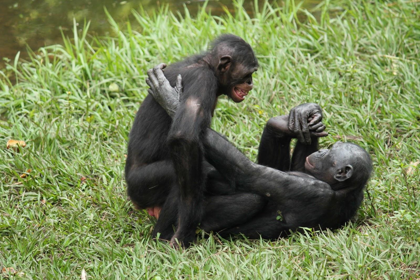 А люди трахаются с обезьянами а какой член у обезьяны