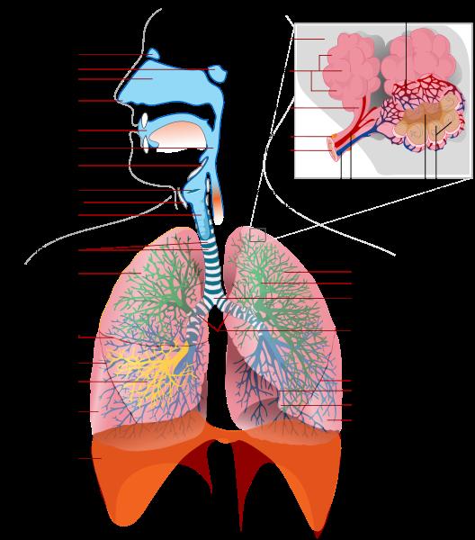 anatomie appareil respiratoire