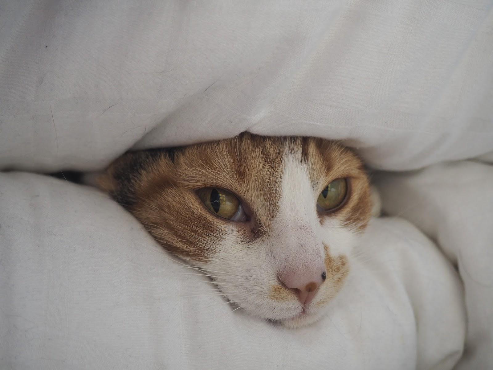 Peekaboo cat