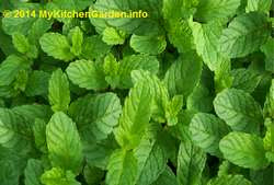 Mint, peppermint is a miracle herb.