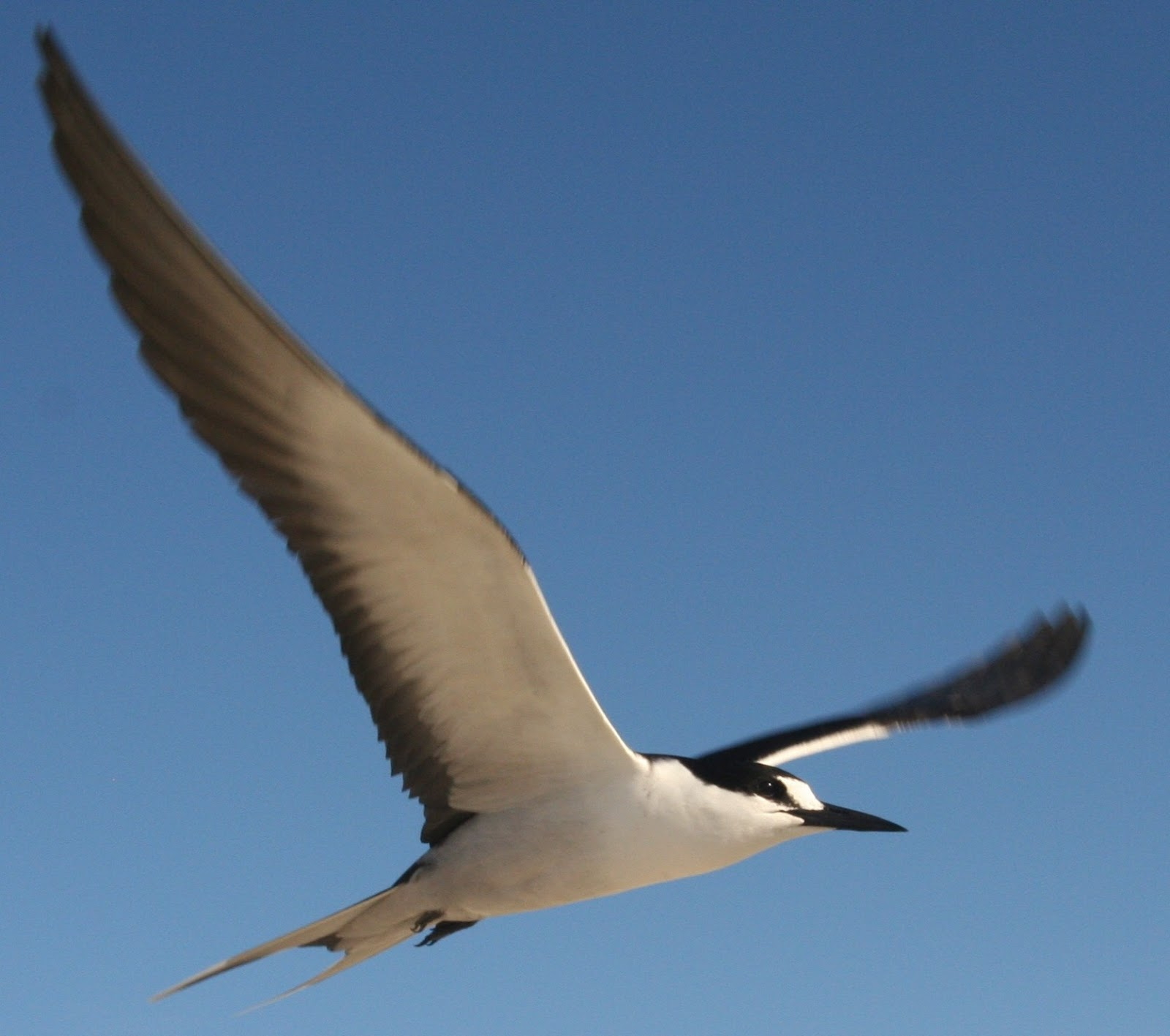 An image of a sooty tern bird flying.