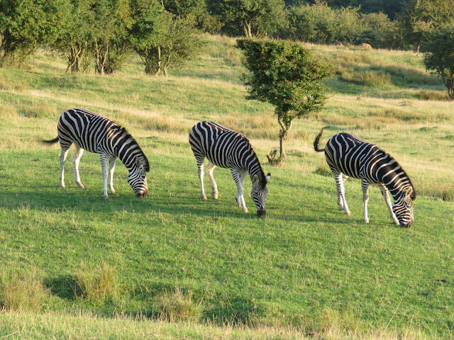 Giraffe Lodge at Port Lympne Reserve, Kent is an amazing and luxurious UK safari experience for any couple, looking for a special time away.
