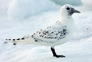 Ivory Gull Newfoundland
