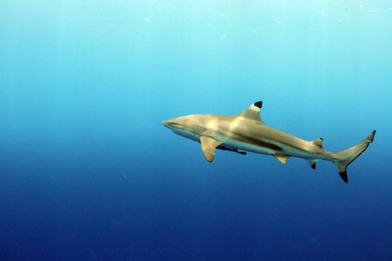 Tubarão-de-pontas-negras-do-recife